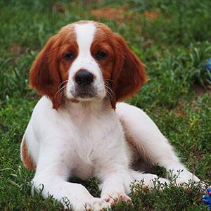 Irish red and white setter puppy