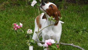 IRWS puppy smelling an apple blossom