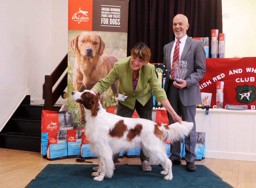 Irish Red and White Setter being shown