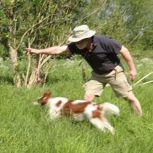 Irish Red and White Setter being given instruction